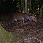 The Fea's Muntjac or Tenasserim muntjac (Muntiacus feae) is a rare species of muntjac native to China, Lao, Myanmar, Thailand and Viet Nam.