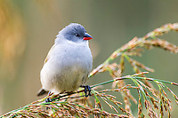 A female Swee Waxbill perches on swaying grasses, Kirstenbosch Botanical Gardens, Cape Town, Western Cape, South Africa