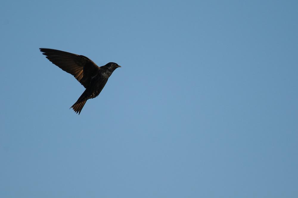 Purple Martin in flight at Montezuma National Wildlife Refuge