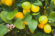 Detail of lemons in an orchard, Santa Paula, California