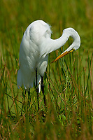 Great Egret, Green Cay Nature Area Delray Beach Florida USA