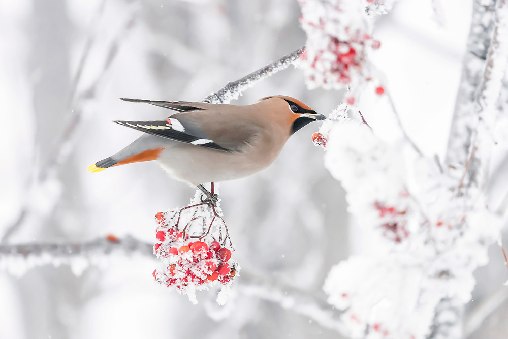 Alaska.  An adult Bohemian Waxwing (Bombycilla garrulus) feeding on mountain ash berries in Anchorage in December.