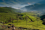India, Kerala. Beautiful misty tea plantations of Munnar.