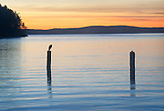 heron in sunset San Juan Islands Washington State
