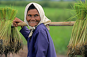 THAILAND, PEOPLE, older woman carrying rice shoots on bamboo pole