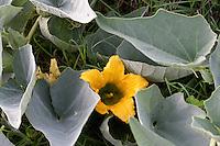 Buffalo Gourd, (Cucurbita foetidissima),  Blanco County, Texas