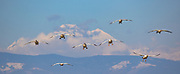 Eight snow geese (Anser caerulescens) prepare to land in a farmer's field in Mount Vernon, Washington, as the volcano Mount Baker stands in the background.