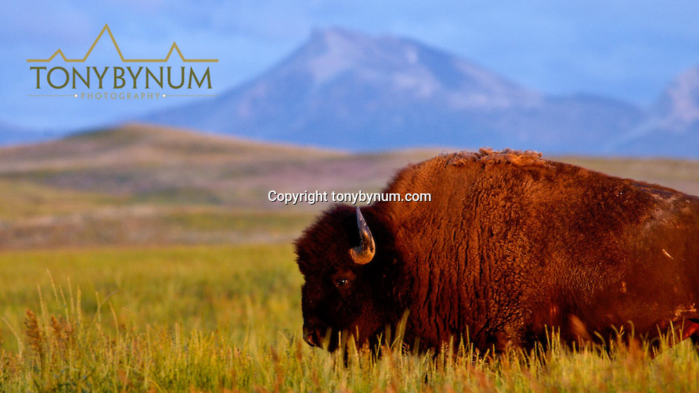 bull buffalo rocky mountian front montana