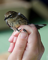 Myrtle Warbler (Setophaga coronata coronata) being banded, Acadia National Park, Maine.