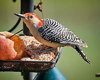 Red-bellied Woodpecker. Image taken with a Nikon D5 camera and 600 mm f/4 VR lens (ISO 1000, 600 mm, f/5.6, 1/1250 sec)