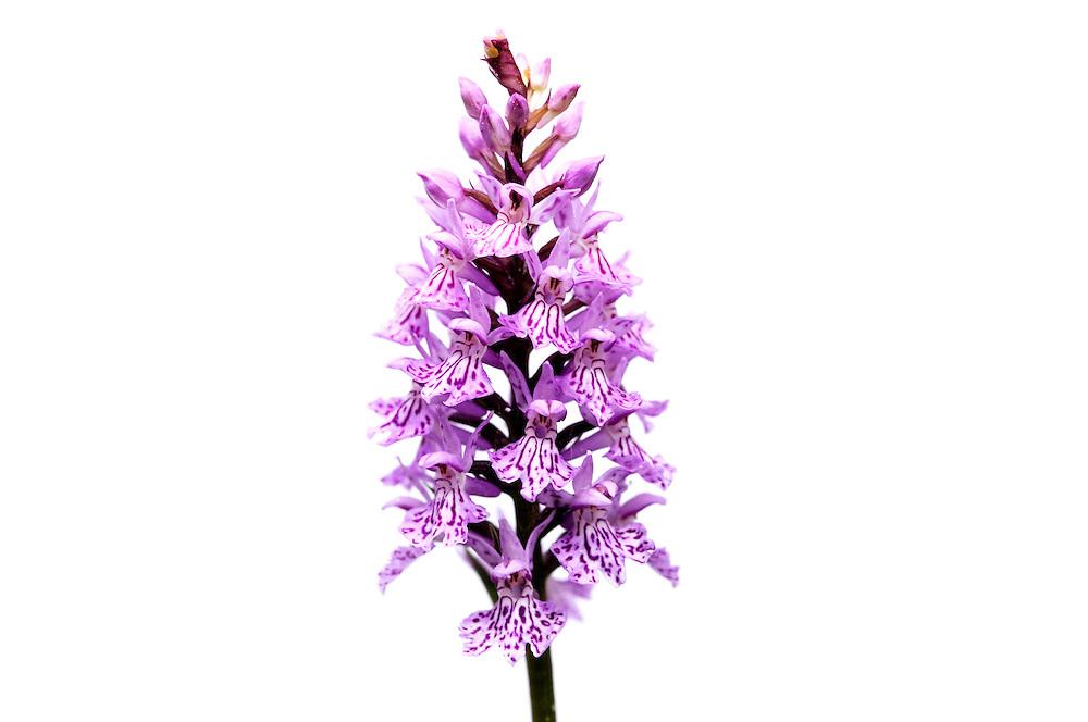 France, Languedoc Roussillon, Lozère (48), Cevennes, fleur de Orchidée tâchetée, N.L.: Dactylorhiza maculata, (Orchidacées)