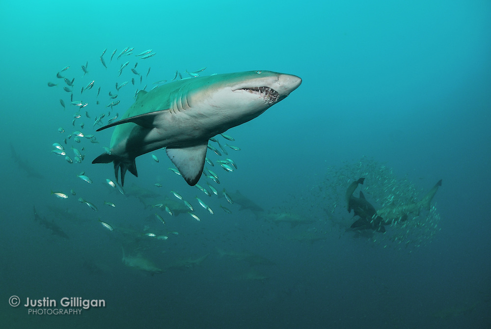 Grey nurse sharks (Carcharias taurus) in mid-water, photographed off Forster, New South Wales, Australia, Pacific Ocean.