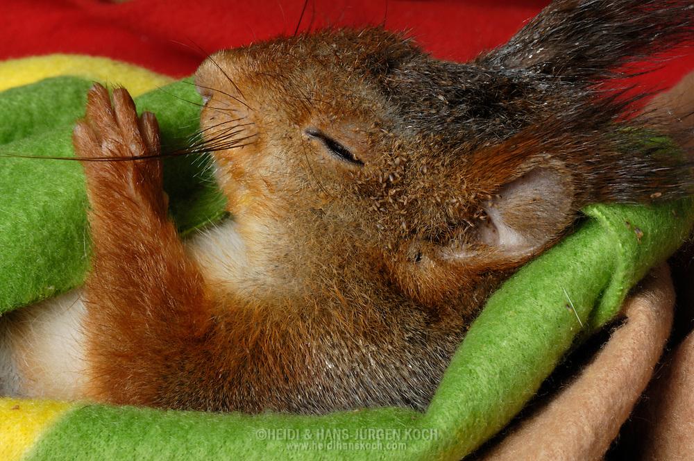 DEU, Deutschland: Europäisches Eichhörnchen (Sciurus vulgaris), krankes, mit Milben verseuchtes Eichhörnchen schläft in wärmendem Vlies, kranke und verletzte Eichhörnchen werden in der Eichhörnchen-Schutzstation in Eckernförde wieder aufgepäppelt und gesund gepflegt, Eichhörnchen-Schutzstation, Eckernförde, Schleswig-Holstien | DEU, Germany: Eurasian Red Squirrel (Sciurus vulgaris), sick, verminoused with mites sleeping in warming fleece, red squirrel protection station, Eckernfoerde, Schleswig-Holstein