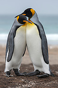 King penguins (Aptenodytes patagonicus patagonicus) from The Neck, Saunders Island, the Falklands.