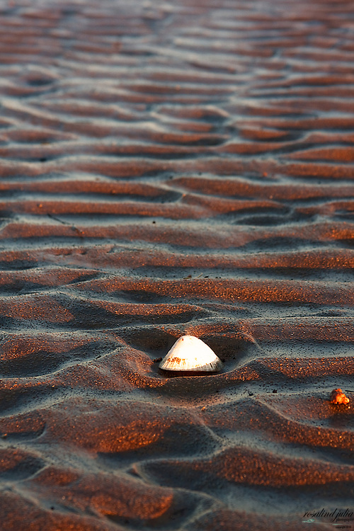 A sea shell nestled in a ripple of wet sea sand.