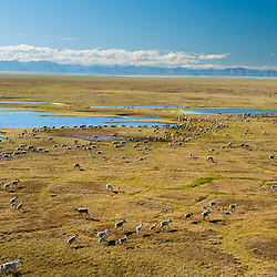Migrating Central Caribou herd on the Arctic Coastal Plains, ANWR, Alaska