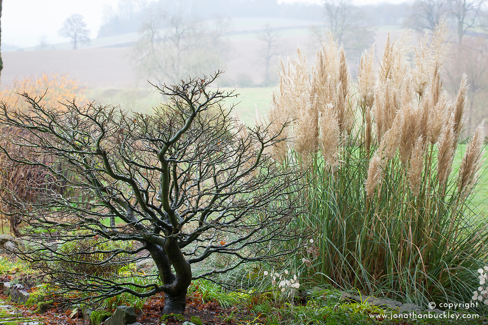 Architectural shape of bare acer tree.