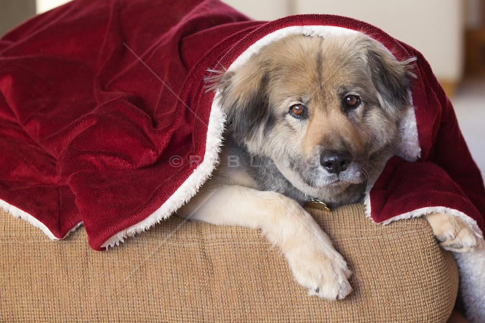 portrait of a sweet German Shepard dog sitting under a red blanket