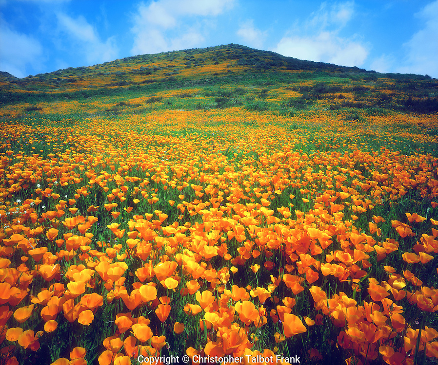 I used my 4x5 view camera to get all the detail in my high end photo of California Poppies covering a hillside,  The vibrant orange California state flower grows from a lush green field.