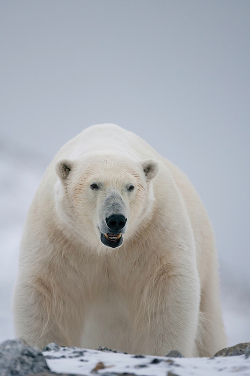 Polar bear (Ursus maritimus) close-up, Svalbard, Norway.