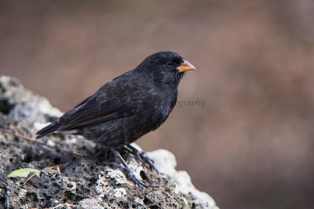 Small Ground Finch (Geospiza fuliginosa)<br /> Floreana Island<br /> GALAPAGOS ISLANDS,<br /> Ecuador, South America<br /> ENDEMIC