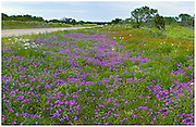 Drummond phlox (Phlox drummondii), Blanketflowers (Gaillardia pulchellus), bluebonnets (Lupinus texensis), and white prickly poppies (Argemone albiflora v. texana), Llano County, Texas / #HC278