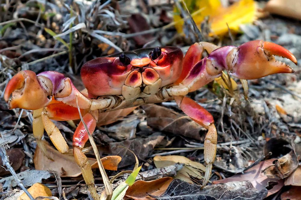Crab in Playa La Herradura, Las Tunas, Cuba.