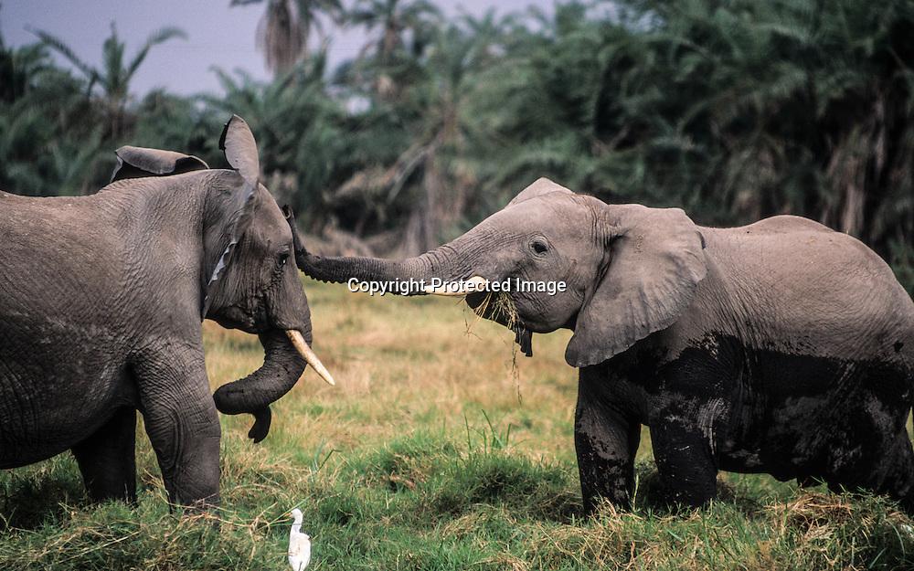 Kenya  Embosseli park. Elephants  /      .Elephants  Embosseli park/  Kenya