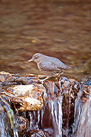 Along streams in the western United States you might have seen a bird that like to walk into a stream and walk underwater that bird is the American Dipper it walks underwater holding on the rocks that are on the bottom looking for aquatic insects to eat.