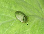 Green Tortoise Beetle - Cassida viridis