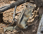 Golden-Mantled Ground Squirrel (Callospermophilus lateralis) in Rocky Mountain National Park, Colorado, USA.