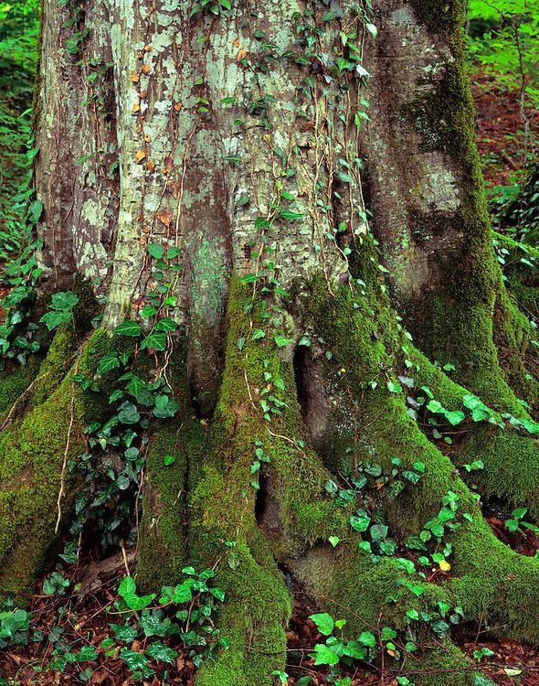 Georgia, Lagodekhi National Park, Georgia, beech tree, Fagus sylvatica, old growth forest