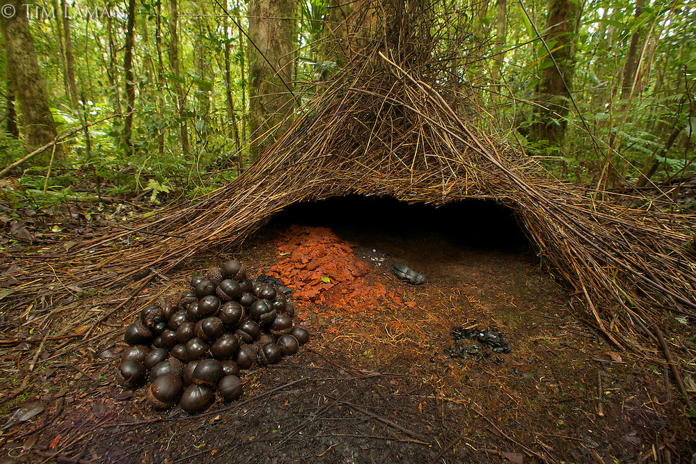 A bower of a Vogelkopf Bowerbird (Amblyornis inornatus), decorated with a pile of acorns, orange fungi, and other fruits.