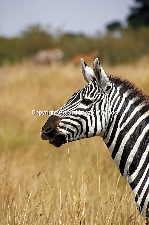 Burchell's Zebra, equus burchelli, Portrait of Adult, Masai Mara Park in Kenya