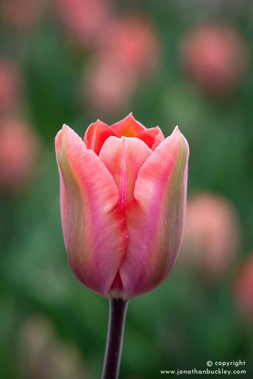 Tulipa 'Palestrina'