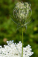 Queen Anne's Lace, Daucus carota, Houston County, TX