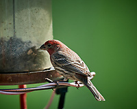 Male House Finch feeding at a bird feeder. Image taken with a Nikon D5 camera and 600 mm f/4 VR lens (ISO 400, 600 mm, f/4, 1/1250 sec)