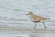 Black-bellied Plover - Pluvialis squatarola running in the water