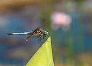 Watergarden Dragonfly