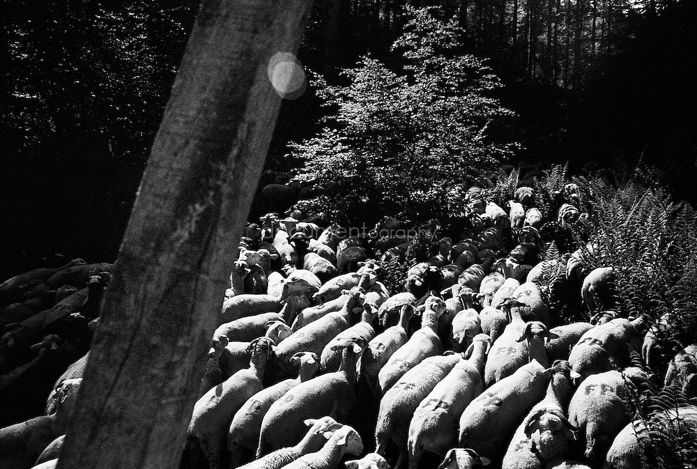 A flock of sheep during the summer transhumances in the valley of Bethmale in the Pyrenees, France.