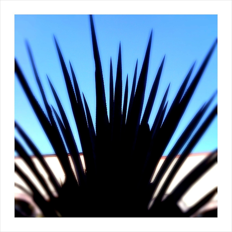 A blue agave plant located on the grounds of the Herradura tequila distillery, in Tequila, Mexico. (iPhone image) --- Image created for http://tastetequila.com