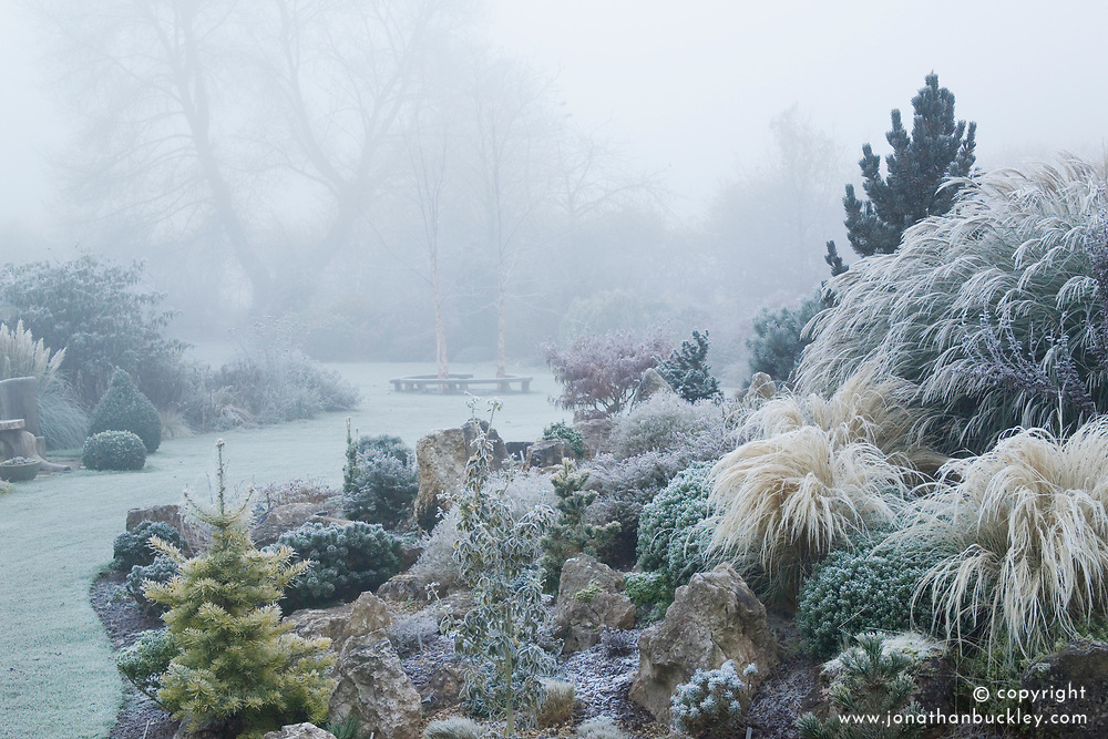 Looking over the rock garden in John Massey's garden on a frosty winter's morning. Abies concolor 'Wintergold' and Stipa tenuissima in the foreground