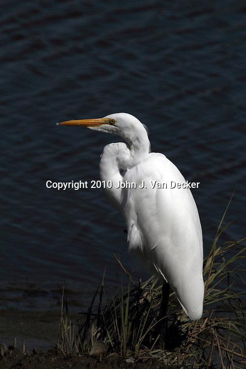 A Great Egret, Ardea alba, standing on the Water's edge in a saltmarsh. Edwin B. Forsythe National Wildlife Refuge just north of Atlantic City, New Jersey, USA, North America.