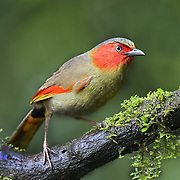 The scarlet-faced liocichla (Liocichla ripponi) is a bird in the Leiothrichidae family. It recently was split from the red-faced liocichla, although some taxonomists consider it to be conspecific.