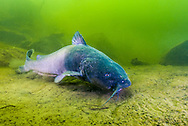 Blue Catfish<br />