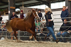 © Licensed to London News Pictures. 28/10/2016. Builth Wells, Powys, Wales, UK. Welsh Cobs Section D and Welsh Ponies of Cob Type Section C are auctioned on the second day of The Autumn Cob Sale - the largest sale in the World of registered Welsh Cobs Section D, Welsh Ponies of Cob Type Section C and their Part Breds. The sale takes place over three days at The Royal Welsh Showground in Builth Wells, Powys, UK, attracting an audience of thousands of Welsh Cob enthusiasts worldwide. Photo credit: Graham M. Lawrence/LNP