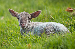 © Licensed to London News Pictures. 06/04/2018. Dorking, UK. A one day old newborn lamb enjoys the spring sunshine as it is put out in a field for the first time on the Downs at Ranmore, near Dorking in Surrey. Warm spring temperatures are being experienced in parts of the UK today. Photo credit: Peter Macdiarmid/LNP