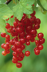 Redcurrant 'Red Lake'