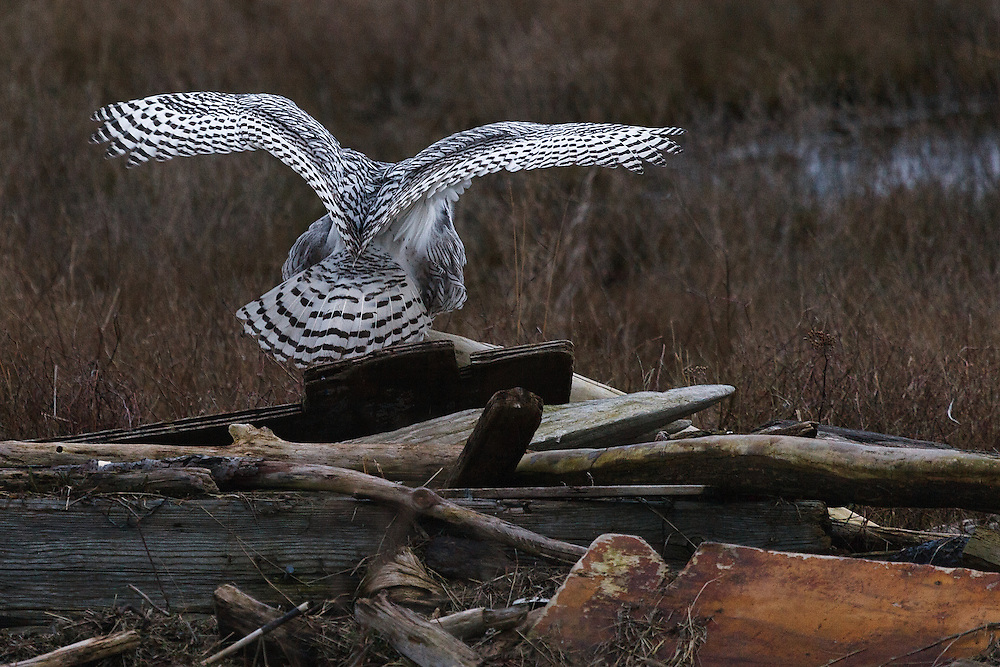 Snowy Owl landing on driftwood with wings spread, Boundary Bay, Ladner, British Columbia