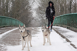 © Licensed to London News Pictures. 01/03/2018. Cardiff, UK.  A man walks his tewo husky dogs acorss the A48.  They are enjoying the conditions even if he isn't! Steady snow is giving way to blizzard conditions with the prospect of snowed in carriageways as Storm Emma begins to bite. Some drivers don't appear to be heeding warnings.   Photo credit: IAN HOMER/LNP